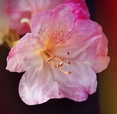 Rhododendron (Uhlenhorst) Tags: 2017 germany deutschland bavaria bayern flowers blumen blossoms blüten plants pflanzen