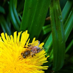 Da fliegen schon die Bienen (Lebemitgott) Tags: instagramapp square squareformat iphoneography uploaded:by=instagram