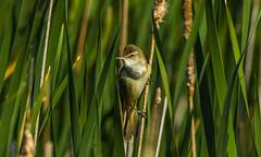 Great reed warbler (Bojan Žavcer) Tags: greatreedwarbler rakar animal wildlife canoneos7dmarkii ef600mmf4lisusm
