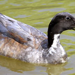 Duck - Gateway Island - Murfreesboro, TN thumbnail