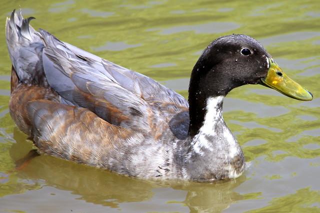 Duck - Gateway Island - Murfreesboro, TN