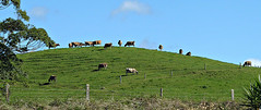 The Best Grass is on Top (sallyNZ) Tags: cows grazing field paddock farm hill grass whangamata coromandel fence