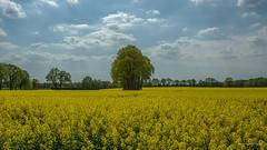 Nordheide - Rapsfeld 2 (Pana53) Tags: photographedbypana53 pana53 landschaftsaufnahmen naturundlandschaftsfotografie ackerbau landwirtschaft pflanzen feld acker lebensmittel saatgut anbau nikon nikond810