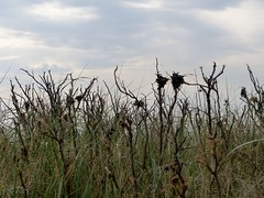 Sources of Caterpillars (Quetzalcoatl002) Tags: caterpillars nests rupsennesten duinen seaside helm begroeiing zandvoort