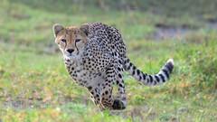 In fine form (John Kok) Tags: tanzania ndutu april2017 cheetah acinonyxjubatus nikkor80056evr2