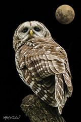 Barred Owl_20A9474 (Alfred J. Lockwood Photography) Tags: alfredjlockwood nature wildlife bird barredowl fullmoon composite focusstack colleyvillenaturecenter spring texas portrait