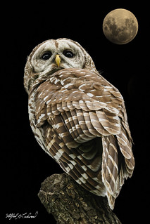 Barred Owl_20A9474