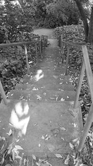 (sftrajan) Tags: strybingarboretum japanesemoonviewinggarden bw blackandwhite android sanfrancisco sanfranciscobotanicgarden botanischergarten botanicalgarden goldengatepark 2017 spring jardinbotanico jardínbotánico jardinbotanique botaniskhave botaniskträdgård steps escalera escaliera garten hill