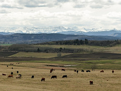 Alberta's beautiful foothills and mountains (annkelliott) Tags: alberta canada swofcalgary nature landscape scenery rural ruralscene farmland fields hills mountains rockymountains snowcovered trees foothills cows cattle outdoor spring 5may2017 fz200 fz2004 annkelliott anneelliott ©anneelliott2017 ©allrightsreserved