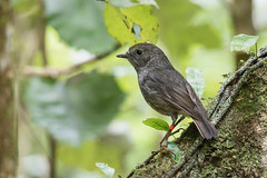 "Toutouwai (Brendon & Keryn) Tags: zealandia autumn newzealand wellington northisland ""north island robin"" toutouwai ""petroica longpipes"""