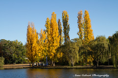 Autumn in Canberra (Anna Calvert Photography) Tags: australia canberra lakeburleygriffin travelphotography autumn autumncolours landscape landscapephotography nature trees water poplattrees reflection yellow blue