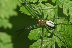 Neriene emphana (chug14) Tags: animalia araignée arthropoda arachnida araneae linyphiidae linyphiinae linyphiaemphane nerieneemphana