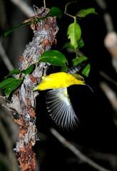 Olive-backed Sunbird (Nectarinia jugularis) ♀ @ nest (beeater) Tags: nectariniajugularis olivebackedsunbird australianbirds australiannativebirds australiannature birdsofqld birdsofaustralia stuartharrisphotography