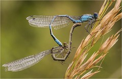 Common Blue Damselflies (cconnor124) Tags: loughbrickland commonbluedamselflies damselflies flyinginsects insectmacro macrophotography macro closeups insectsmating exoticinsects insectphotography naturephotography uknature nature canon100mmmacrolens canon7dmk11