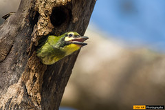 Coppersmith Barbet (sibi ar ( I'm BACK :)) Tags: