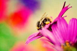 Bee on Cape Daisy