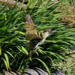 Green woodpecker by our pond this morning