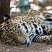 Jaguaress looking lazy