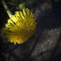 Time for Dandelions (Mona_Oslo) Tags: dandelions flower survival yellow wildflower light lightandshadow oslo monajohansson