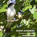 Giant Kingbird, Tyrannus cubensis