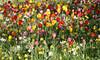 02-IMG_8772 (hemingwayfoto) Tags: blühen blüte blume farben gartenblume narcissen natur park pflanze rethen tulpe