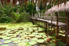 Amazon River (3) (Mahmoud R Maheri) Tags: amazo amazonriver forest amazonforest lily water pathway brazil