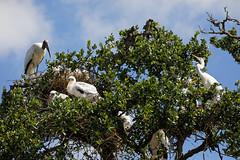Bird Condo (dcstep) Tags: n7a3515dxo nest chicks stork woodstork largebird canon5dmkiv ef100400mmf4556lisii allrightsreserved copyright2017davidcstephens dxoopticspro114 staugustine fl florida usa staugustinealligatorfarm rookery pixelpeeper egret greategret handheld ecoregistrationcase15586202651