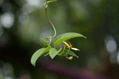 DSC09499 (oliveplum) Tags: gardensbythebay marinabay leica60f28macro flower leaves bokeh bokehwhores sony singapore
