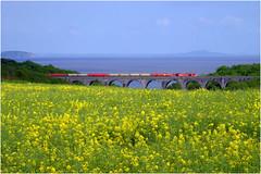 Sea of Yellow (Welsh Gold) Tags: 60091 6b33 theale margam oil train porthkerry viaduct valeofglamorgan southwales yello rape seed