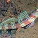 Blotchy Shrimpgoby - Amblyeleotris periophthalma
