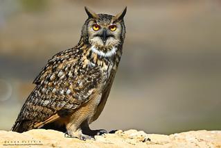 Rock eagle-owl