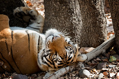 T39 Noor (Adam Masterton) Tags: india rajasthan ranthambhore tiger reserve tigress stripes wildlife wildlifephotography wildlifeaddict nature naturephotography naturelovers naturelust photooftheday forest nikon