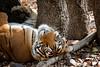 T39 Noor (Adam Masterton) Tags: india rajasthan ranthambhore tiger reserve tigress stripes wildlife wildlifephotography wildlifeaddict nature naturephotography naturelovers naturelust photooftheday forest nikon