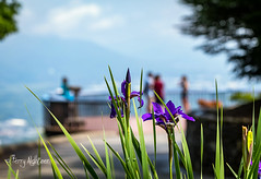 Irises Blooming At Roanoke Star Mill Mountain Overlook (Terry Aldhizer) Tags: irises blooms spring mill mountain roanoke star overlook bokeh flowers floral terry aldhizer wwwterryaldhizercom