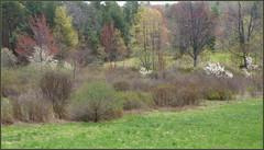 Shadbush in the wetland meadow (edenseekr) Tags: shadbush floweringtrees nyspring