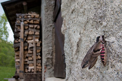 Sphinx ligustri (Gabriele Carabus Motta) Tags: sfinge del ligustro hawkmoth moth falena lombardia