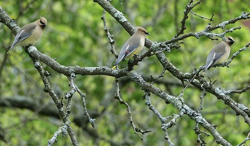 """Cedar Waxwing Trio • <a style=""""font-size:0.8em;"""" href=""""http://www.flickr.com/photos/52364684@N03/34547412121/"""" target=""""_blank"""">View on Flickr</a>"""