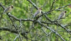 Cedar Waxwing Trio (Harry Lipson III) Tags: bird birdwatching birding avian cedarwaxwing cedarwaxwingtrio songbirds branches bokeh tree harrylipson harrylipsoniii thephotographyofharrylipson