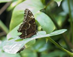 mariposamariposario (ebsigma) Tags: parquedelasciencias granada animales mariposa falcon halcón comer parpado color azul butterfly comiendo flor naranja flower insecto palo stik mirada ojo larva pole buho españa