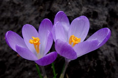 Bonte krokus / Spring crocus (JdRweb) Tags: bloem flora flower plant sonydscrx100