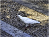 White dove / Paloma blanca (Luc V. de Zeeuw) Tags: dove palomablanca pavement white whitedove jerezdelafrontera andalucía spain