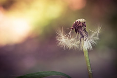 Sony a7 50mm ( explored ) (Jasrmcf) Tags: ilce7 sel50f18f sony sonya7 sonyalpha macro macros macrotube dof detail depthoffield smooth blur garden ngc nature greatphotographers dreamy vintage 50mm bokeh bokehlicious bokehgraph dandilion delicate