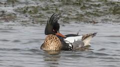 7K8A6032 (rpealit) Tags: scenery wildlife nature edwin b forsythe national refuge redbreasted merganser duck bird
