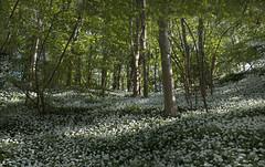 wild garlic woods (Daz Smith) Tags: dazsmith fujixt20 fuji xt20 bath people uk mono trees wild garlic woods green flowers landscape vegetation bushes