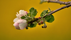What a Wonderful World... (W_von_S) Tags: blossom blüte gelb yellow natur nature bayern bavaria ebersberg wvons werner sony outdoor raps apfel apple rape harmonie harmony