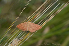 Idae ochrata likes to Play a natural quitar (Nikos Roditakis) Tags: idaea ochrata geometridae moth cretan greece european nikos roditakis nikon d5200 tamron af sp 90mm f28 di vc usd
