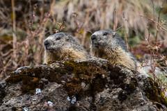 Marmottes (glassonlaurent) Tags: haute savoie france taninges le praz de lys extérieur animal marmotte