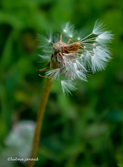 Some see a weed, some see a wish ... a dandelion (LubnaJavaid) Tags: dandelion wish weed wind green white seed dream
