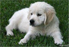 Bimba (Ubierno) Tags: perro chien dog madra الكلب 狗 σκύλοσ כלב 개 कुत्ता hond hund kutya köpek สุนัข cão собака ubierno alma golden retriever goldenretriever cachorro puppy bimba