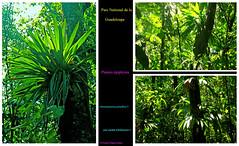 -épiphytes ©Guadeloupe (philippedaniele) Tags: caribbeanflickrgroup guadeloupe forêt tropicale humiditéchaleurparc national de